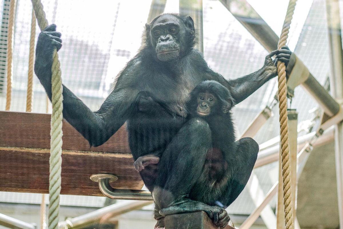 Verstoßenes Bonobo Baby Wird In Der Wilhelma Aufgezogen Land Baden